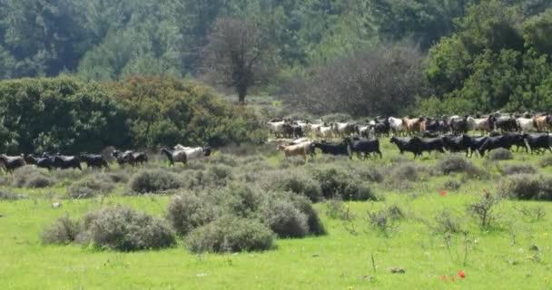 Stádo koz 3