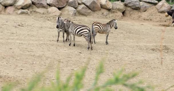Zebra rodina chůzi na savannah