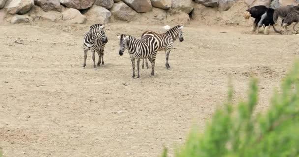 Zebra család séta a szavanna