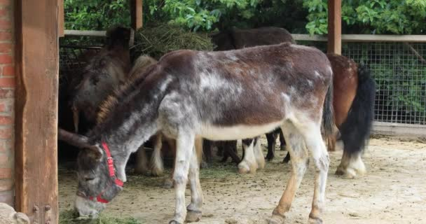 Side view of a beautiful donkey feeding wih hay in barn at the farm