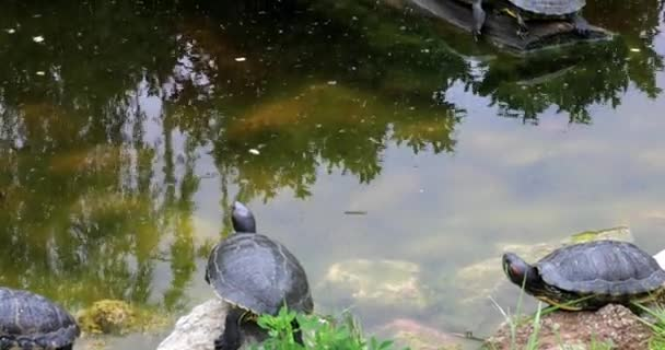 Napozás a tó teknősök család