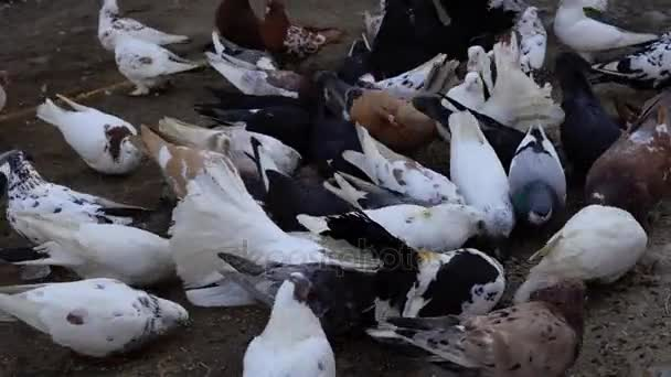 Home beautiful pigeons walk the earth. People feeding pigeons grain. Pigeons peck seeds even from people's hands. Videography close-up.
