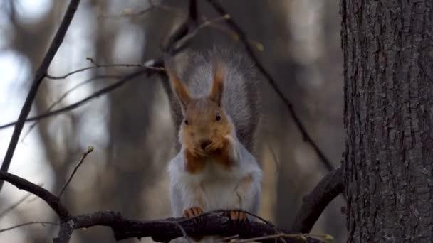 A mókus ül a fa ága, és eszik az élelmiszer. Evés után, a mókus csiszolt a szőr. Miután a fehérje elmúlik. Tavasz az erdőben.