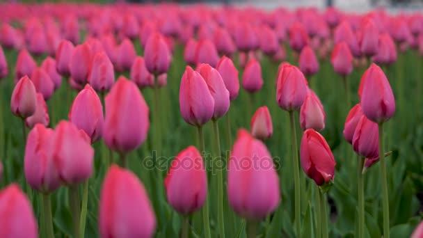 Tulipani sbocciato. Tulipani fiori freschi che ondeggiano al vento. Un gran numero di tulipani con boccioli rosa crea un campo di rosa. Sera di primavera nuvoloso.
