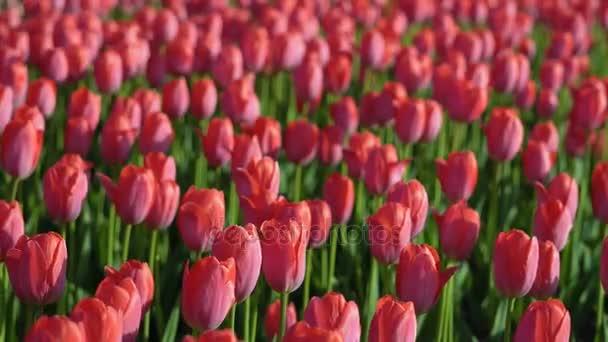 Tulipány kvetla. Čerstvé květiny tulipány ve větru. Velký počet tulipány s růžová poupata růžová pole vytvořit. Večerní slunce krásně svítí, tulipány. Slunečné jarní večer