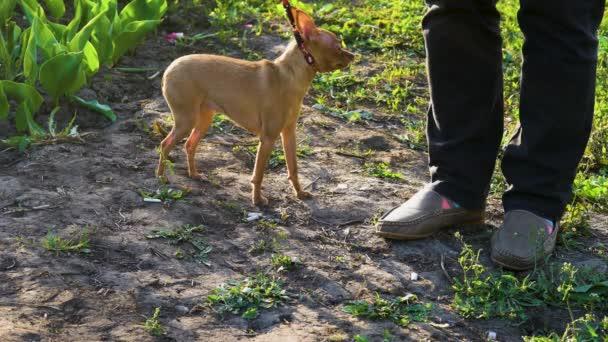 Malý pejsek (čivava plemeno) se bojí natočit na kameru. Hostitelka drží psa na vodítku, tak, aby jí neuteče. Pes se třásl před kamerou. Panička hladí psa a uklidňuje ji
