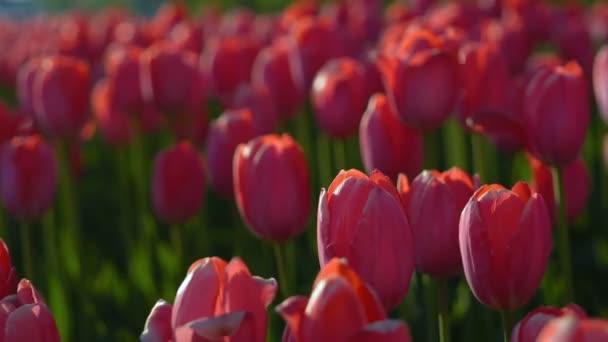 Tulipán virágzott. Friss virágok-tulipán imbolygott a szélben. Tulipán, piros rügyek nagy számú piros mező létrehozása. Az esti nap szépen világít a tulipán. Napsütéses tavaszi este.