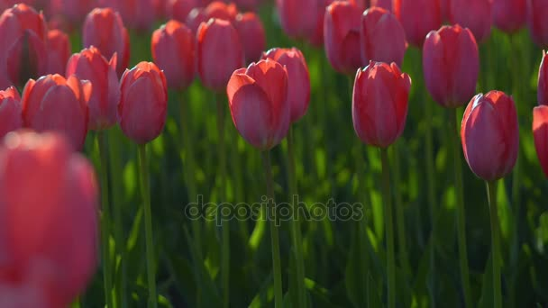Tulips blossomed. Fresh flowers tulips swaying in the wind. A large number of tulips with red buds create a red field. The evening sun beautifully illuminates tulips. Sunny spring evening.
