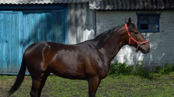 Tmavý hnědák hřebec s černou hřívou žvýká jídlo. Zkouší různé druhy rostlin dle chuti. Koňovi chodí v paddocku poblíž stájí.