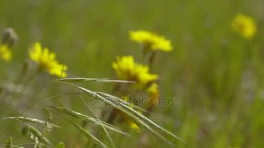 Meadow tall grass and yellow flowers zooming from extreme long wild grass and yellow flowers swaying in the wind the evening sun illuminates the wild mightylinksfo
