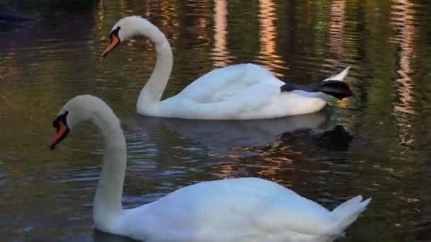 ein paar schöne weiße Schwäne (Vögel), die auf dem See schwimmen. Schwäne fressen Algen vom Teichboden.