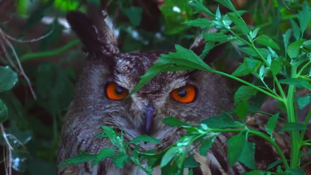 Výr (pták) sedí na trávu a keře. Sova pálená je noční, ve dne se skrývá v křoví. Sova pálená tiše sedí a jen otočí hlavou.
