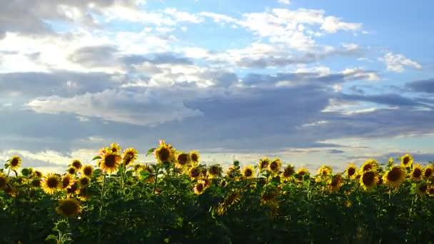 Časová prodleva: Bílé šedé mraky plovoucí nad pole slunečnic. Silný vítr třese slunečnice. Večerní slunce krásně svítí, slunečnice. Letní večer.