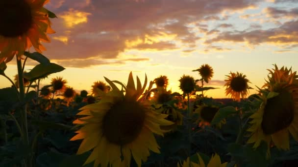 Sun, sky and sunflowers. Beautiful sunset over a field of blooming sunflowers. The rays of light beautifully make their way through the sunflowers. The wind swings the plants. Summer sunset