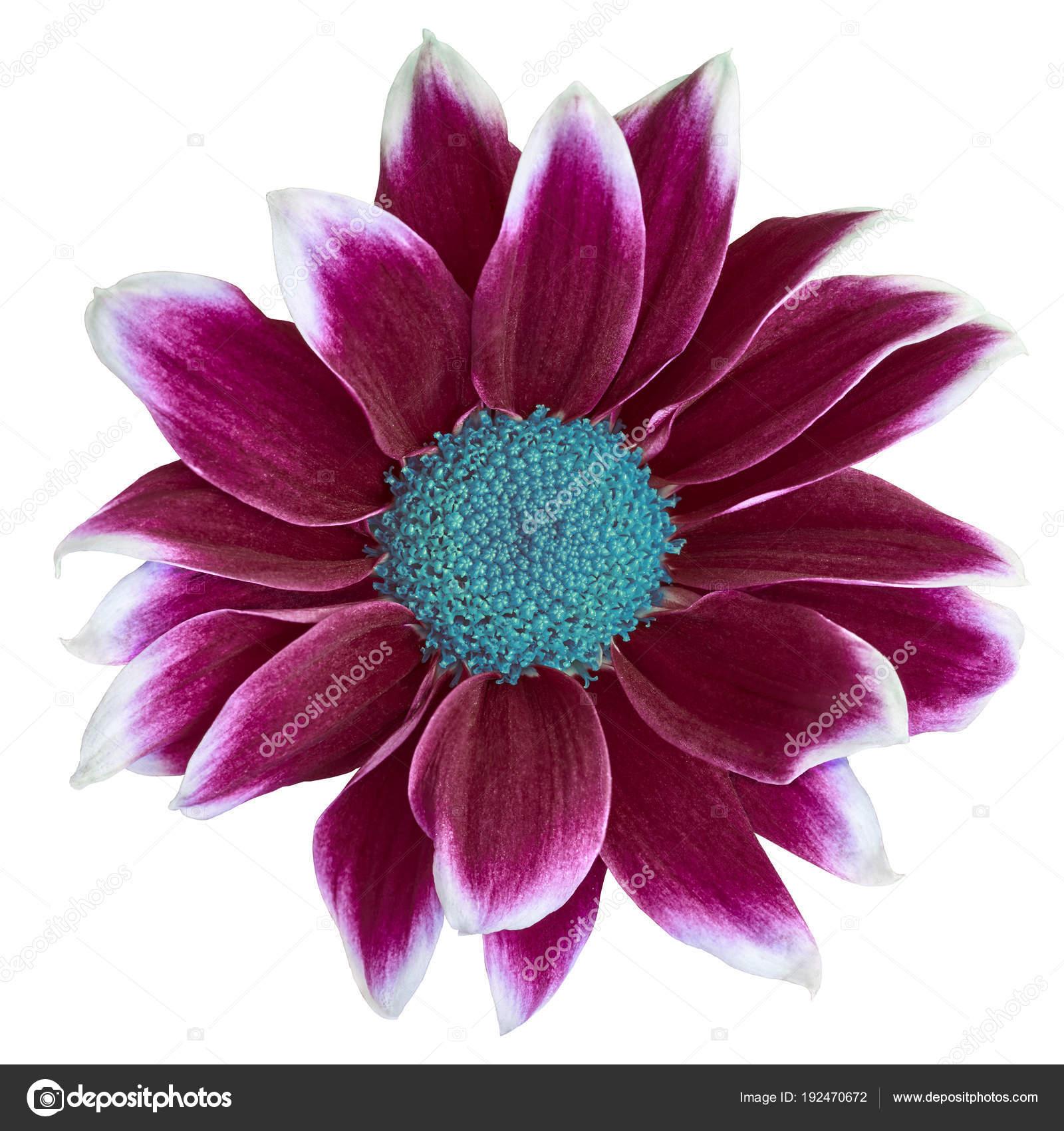 Flower Maroon White Chrysanthemum Cyan Center Isolated White