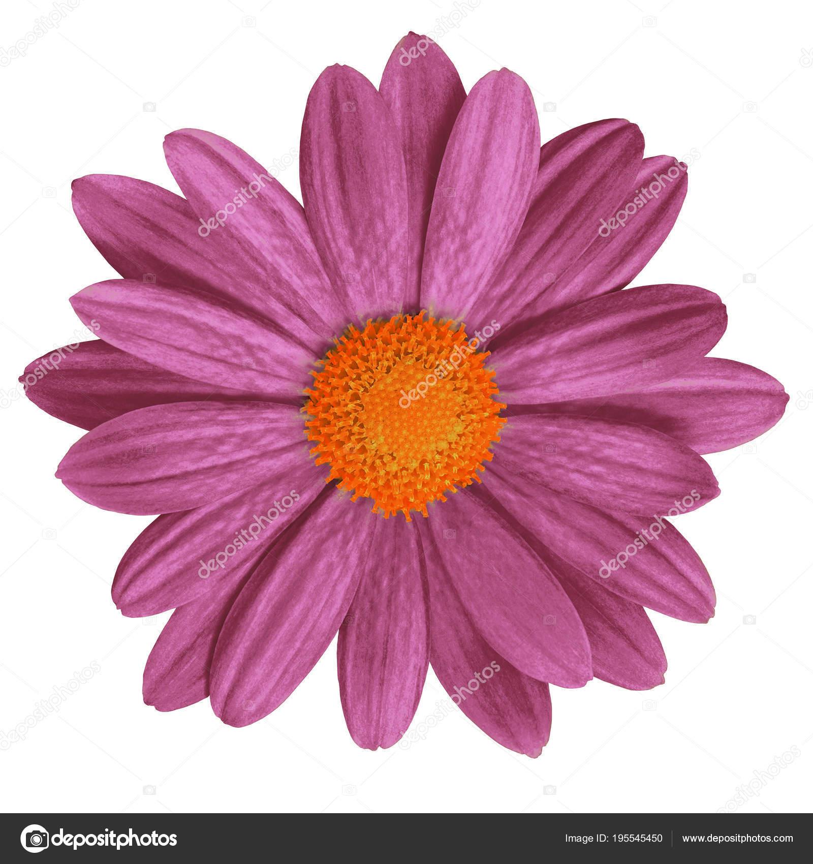 Flower Maroon Orange Daisy Isolated White Background Close Element
