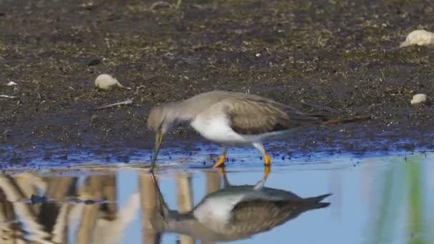 Pták - Terek Sandpiper (Xenus cinereus) kráčí bažinou, hledá potravu a jí.