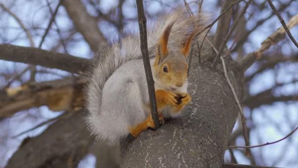 A vörös-szürke mókus egy fán ül egy felhős tavaszi napon, és megeszik egy diót. Mókus téli ruhában. Közelkép.