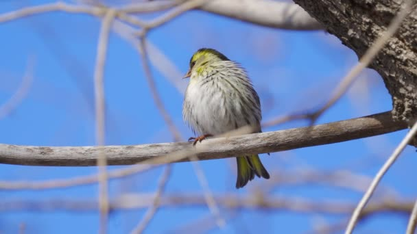 Bird - Eurasian Siskin ( Spinus spinus ) sitting on a branch of a tree and cleans his feathers. Sunny spring day. Close-up.