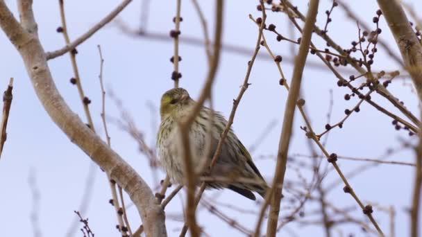 Pták - Eurasian Siskin (Spinus spinus) sedí na větvi stromu a odpočívá. Mračný jarní den. Detailní záběr.