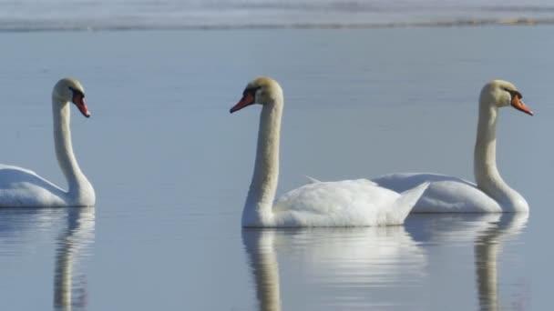 Höckerschwäne (Cygnus olor) treiben an einem sonnigen Frühlingstag langsam auf dem See. Nahaufnahme.