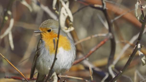 Madár - Európai Robin (Erithacus rubecula) ül egy ágon, és elrejti a bokrok napos tavaszi reggel. Közelkép.