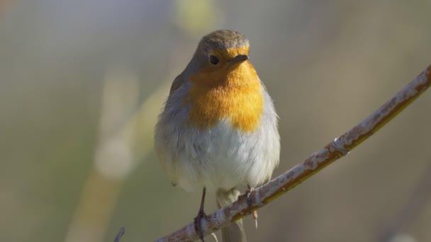Pták - evropský Robin (Erithacus rubecula) sedí na větvi křoví slunečného jarního rána. Detailní záběr.