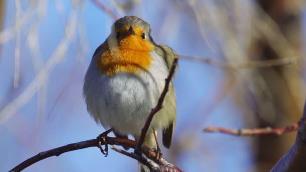 Vogel - Rotkehlchen (Erithacus rubecula) sitzt auf einem Zweig eines Busches und singt sein Lied an einem sonnigen Frühlingsmorgen. Nahaufnahme.
