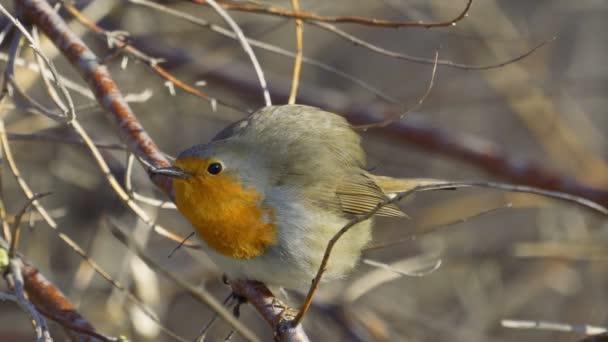 Vogel - Rotkehlchen (Erithacus rubecula) das Männchen sitzt auf einem Ast und lädt das Weibchen sonnigen Frühlingsmorgen ein. Nahaufnahme.