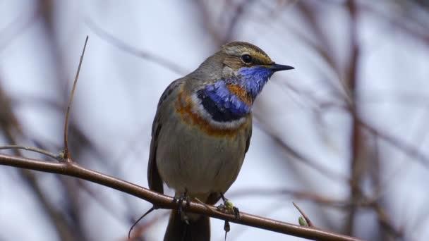 Madár - Bluethroat (Cyanecula svecica) ül egy faágon, és énekli dalát napos tavaszi reggel. Közelkép. A dal hangja a videóban..
