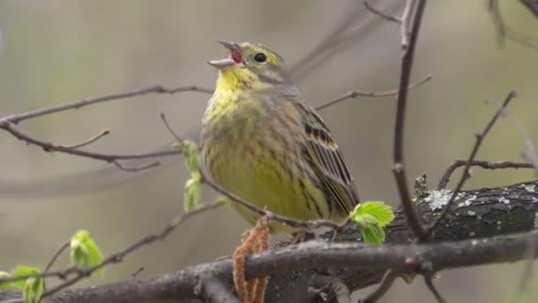 Bird - Yellowhammer (Emberiza citrinella) sitzt auf einem Zweig eines Busches und singt sein Lied sonnigen Frühlingsmorgens. Nahaufnahme. Der Ton im Video.