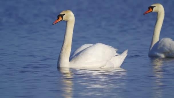Vogel - Höckerschwan (Cygnus olor), der an einem sonnigen Frühlingsmorgen langsam auf dem See schwimmt. Nahaufnahme.