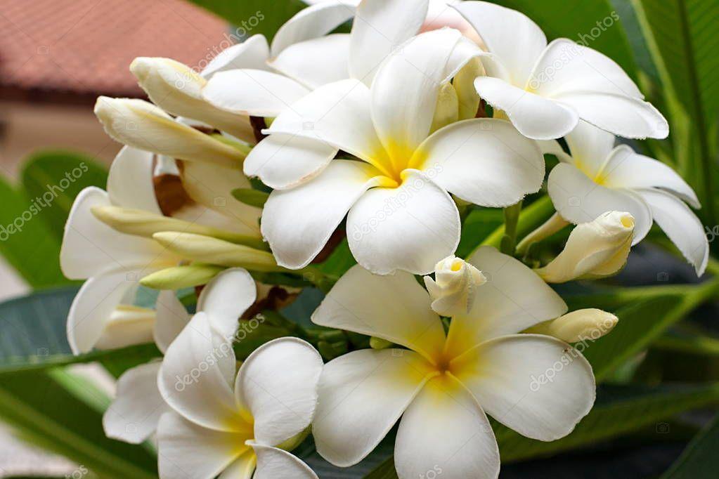 Bouquet von blühenden weißen Plumeria oder Frangipani Blüten auf ...