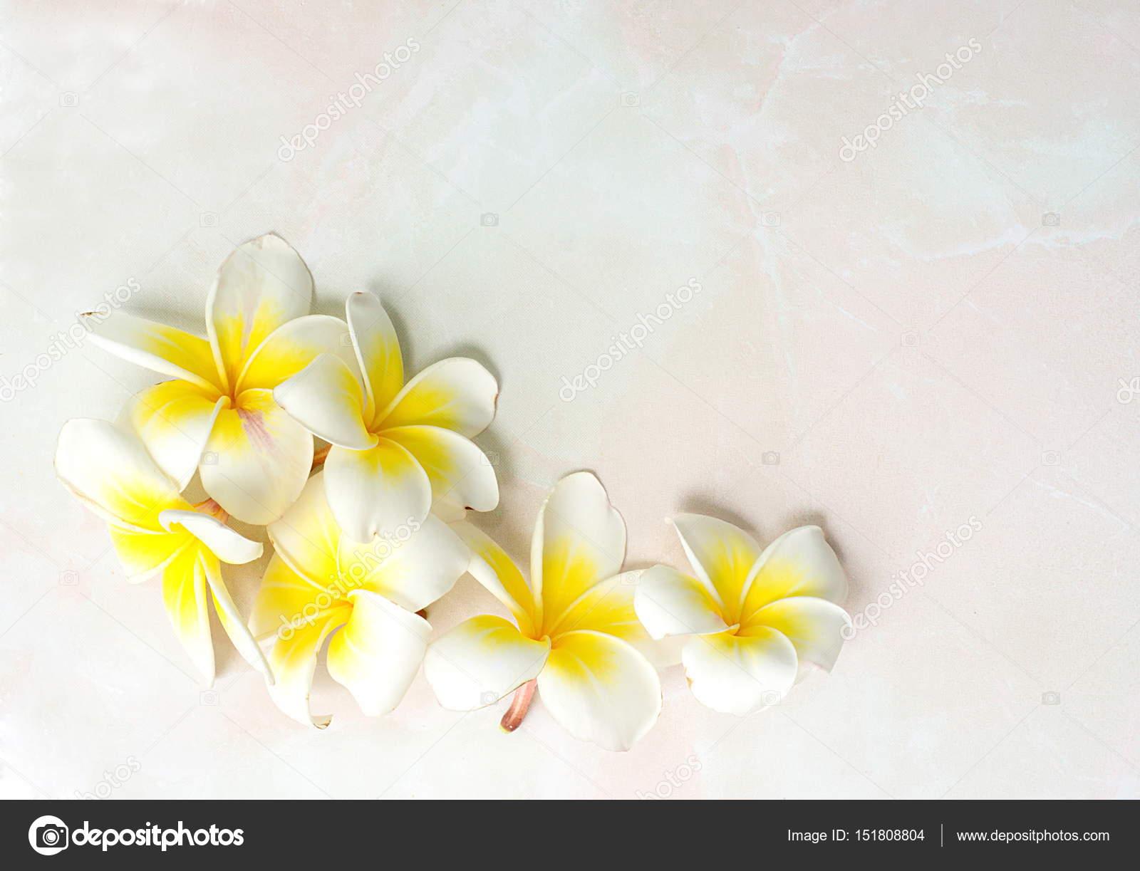 Floraison Des Fleurs De Plumeria Ou Frangipanier Blanches Sur
