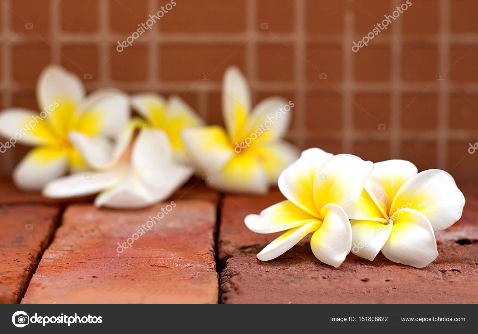 Floraison Des Fleurs De Plumeria Ou Frangipanier Blanches Sur Bri De