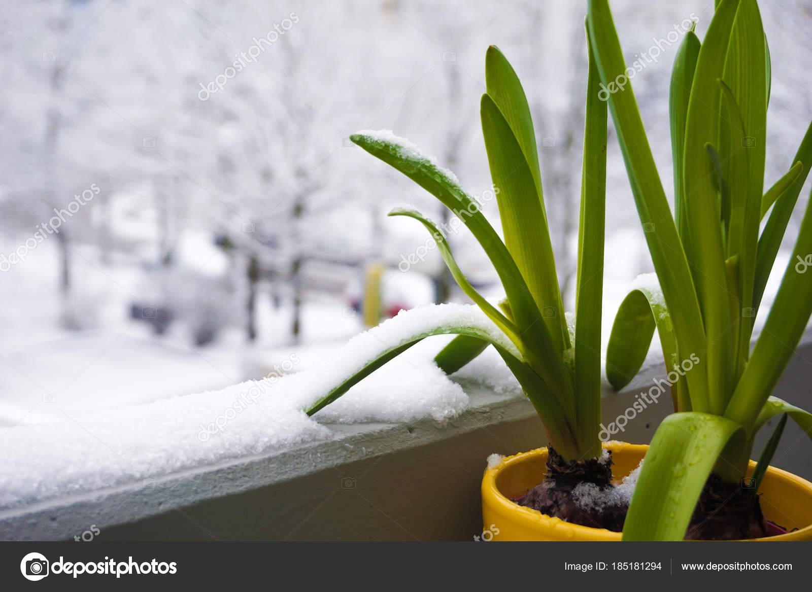Blumentopf Mit Grunen Blatt Blumen Auf Dem Schnee Balkon Stockfoto