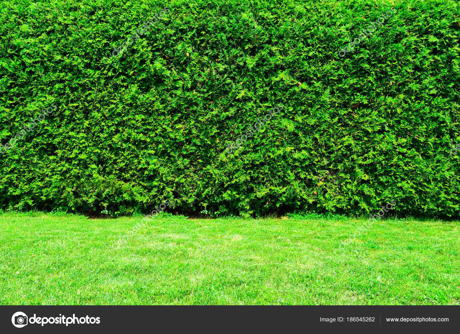 green hedge thuja trees stock photo bakerjarvis 186545262