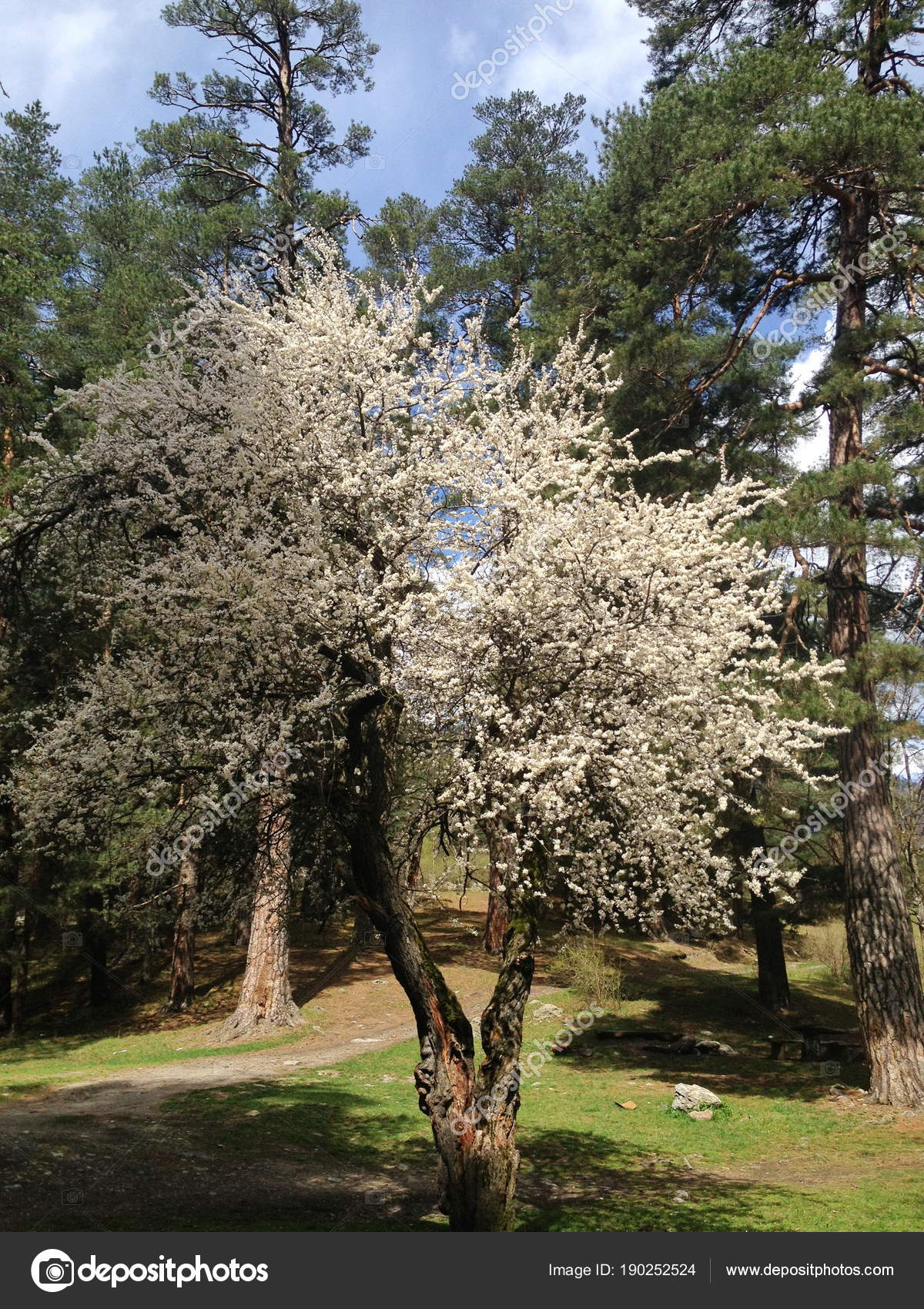 Blooming Spring Tree White Flowers Pine Trees Background Sunny Clear