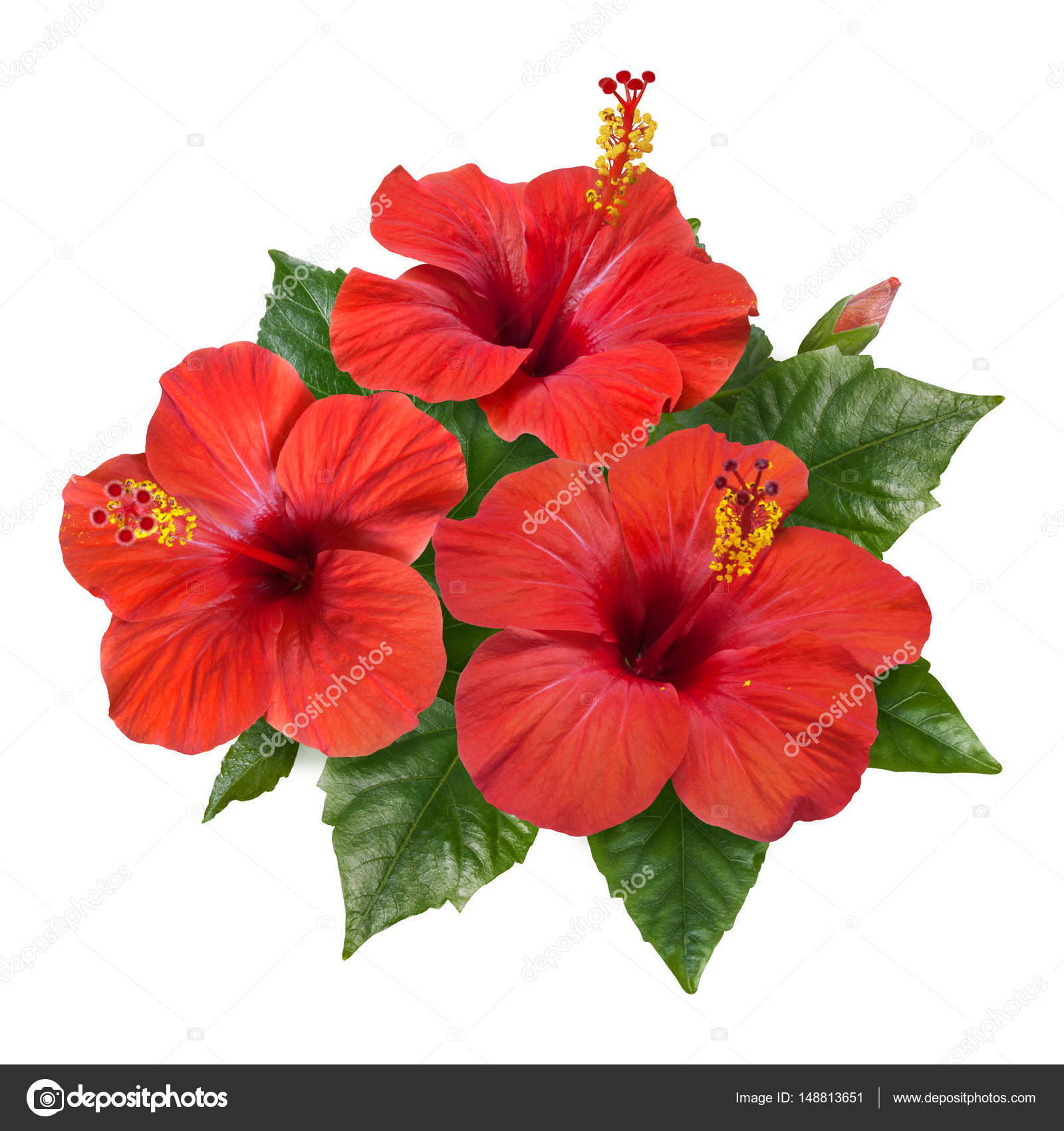 Red Hibiscus Flowers Leaves And Buds Stock Photo Tkorop 148813651