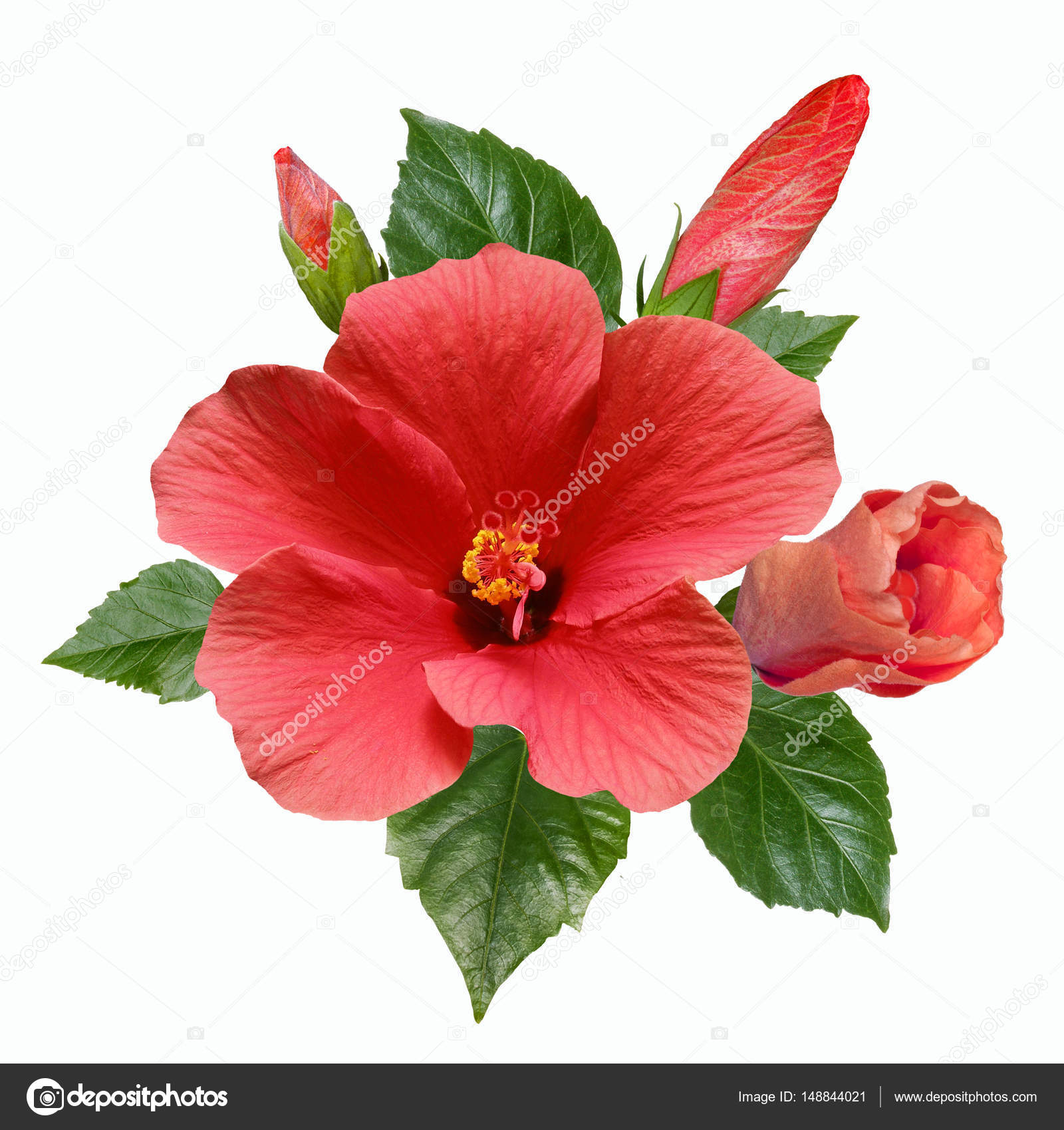 How to use hibiscus leaves flowers for hair growth – hair loss control with Hibiscus How to use hibiscus leaves flowers for hair growth – hair loss control with Hibiscus new pictures