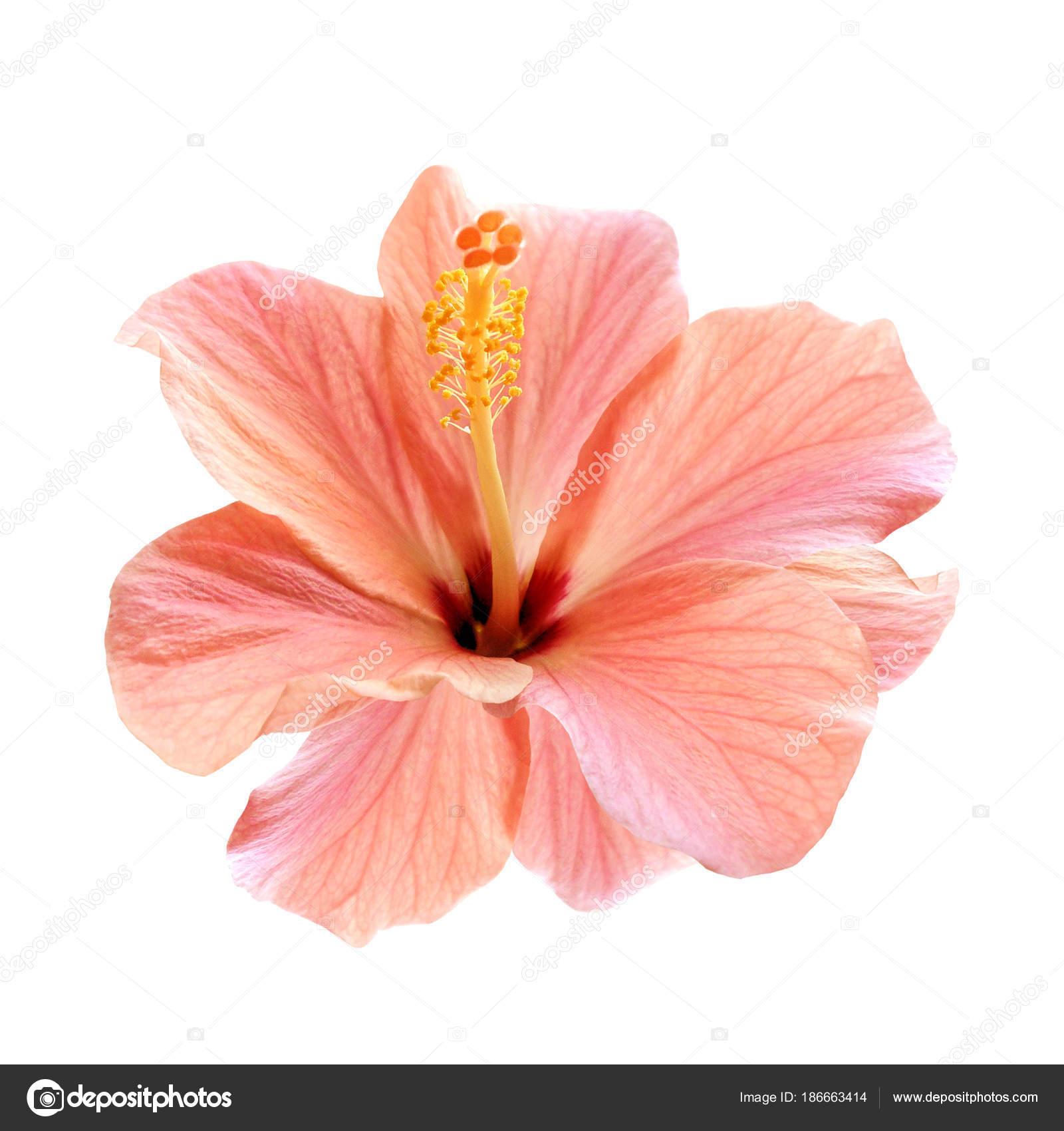 Pink Hibiscus Flower Isolated Stock Photo Tkorop 186663414