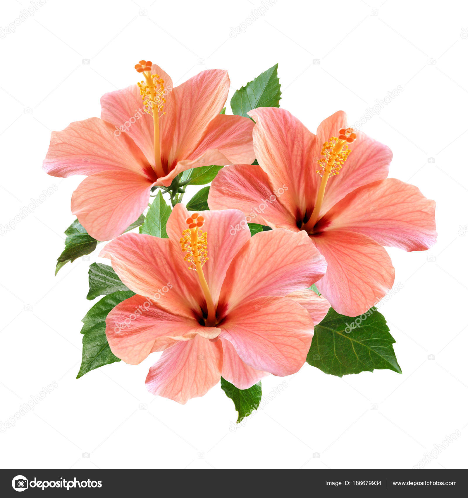 Pink hibiscus flowers bouquet isolated on white background stock pink hibiscus flowers bouquet isolated on white background stock photo izmirmasajfo