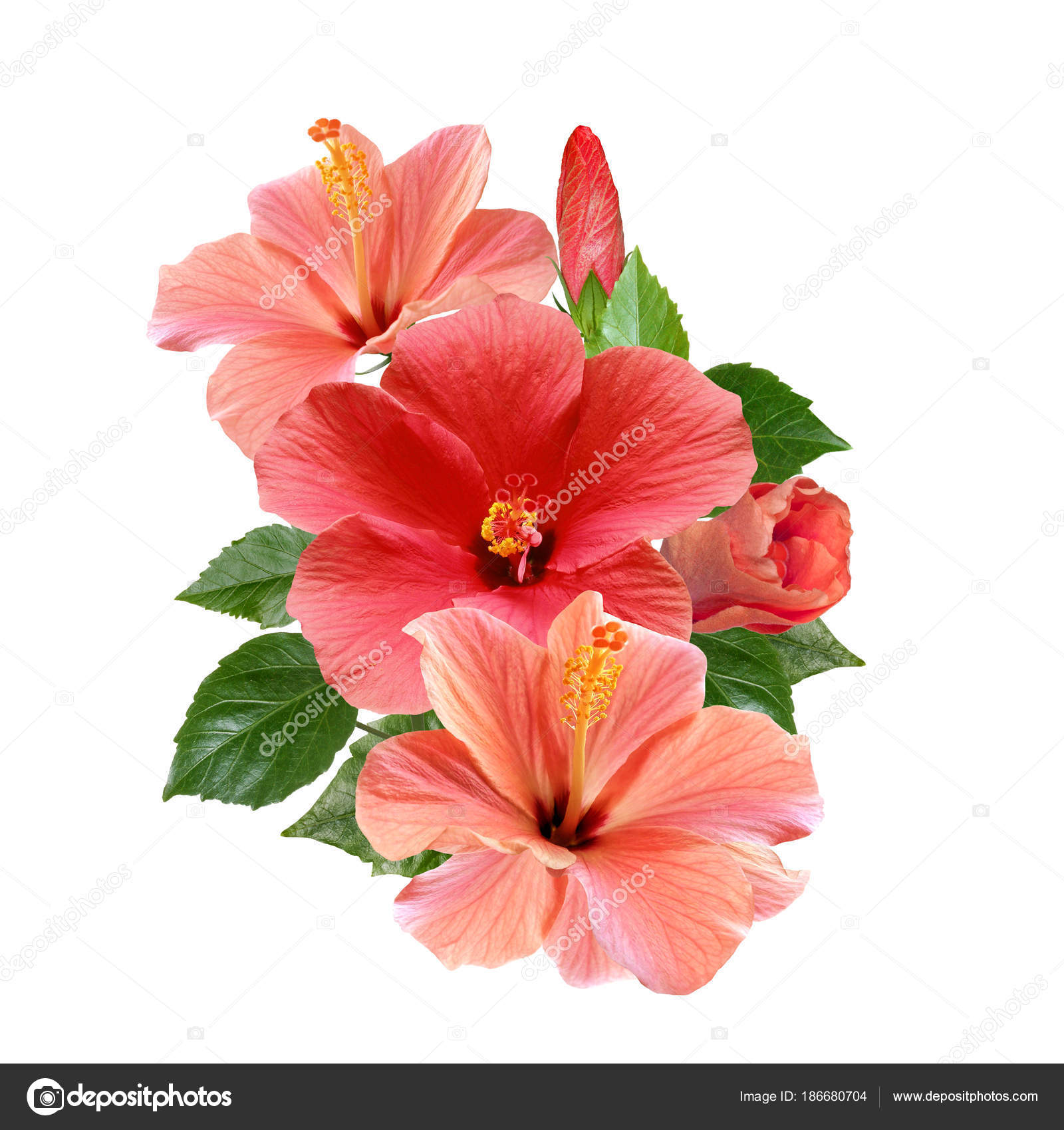 pink hibiscus flowers bouquet isolated on white background — Stock ...