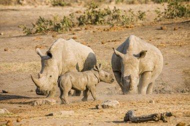 baby white rhinoceros in Kruger National Park