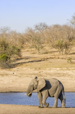 african wild elephant in the riverbank in kruger Park