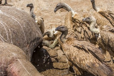 vultures eating a dead hippo in savannah, Kruger, South Africa