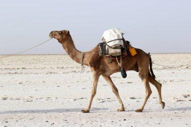 Camels caravan carrying salt in Africa's Danakil Desert, Ethiopia