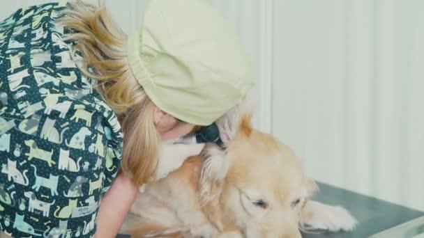 Veterinární lékař cheling uši čistokrevných psů. Veterinární klinika.
