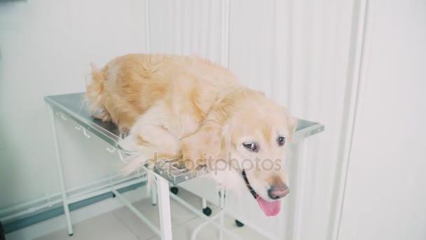 Inteligentní, čistokrevná psí ležící ve veterinární nemocnici ležela na