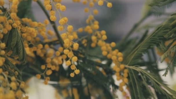 Detail: větve ze žluté mimózy. Jarní květiny. Květinářství.